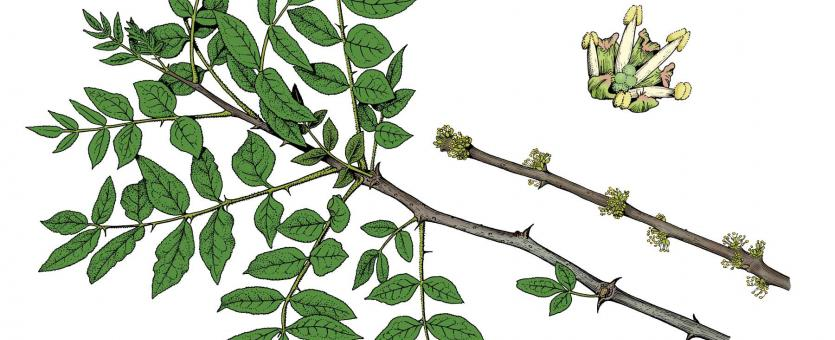 Illustration of common prickly ash leaves, flowers, fruits