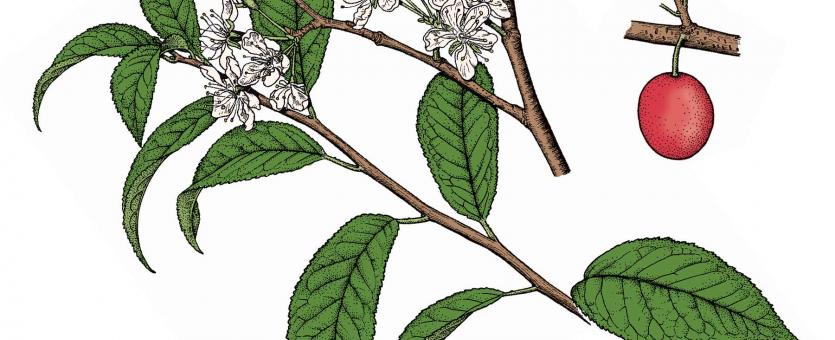 Illustration of wild plum leaves, flowers, fruits.