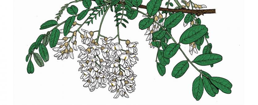 Illustration of black locust leaves and flowers.